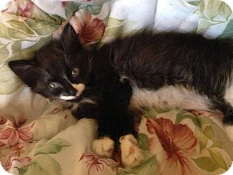 Domestic Shorthair Kitten for adoption in Lakeland, Florida - Merry