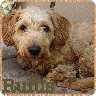 Cockapoo Mix Dog for adoption in Mississauga, Ontario - Rufus
