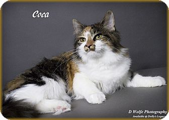 Norwegian Forest Cat Cat for adoption in Lincoln, Nebraska - COCA
