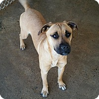 Boxer Mix Puppy for adoption in Shelby, North Carolina - Bella