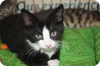 Domestic Shorthair Cat for adoption in Little Falls, New Jersey - Virgil (LE)
