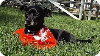 Chihuahua Mix Dog for adoption in Pierrefonds, Quebec - Montégo