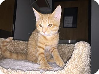 Domestic Shorthair Kitten for adoption in Livonia, Michigan - C17 Litter-Cheetos-ADOPTED