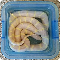 Adopt A Pet :: Pineapple - Greenfield, IN