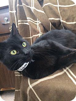Domestic Shorthair Cat for adoption in University Park, Illinois - Wednesday