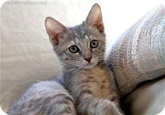 Domestic Shorthair Kitten for adoption in Rocklin, California - Calypso and Charon