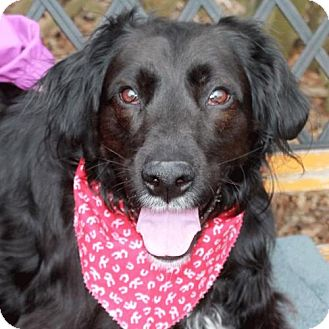 Flat-Coated Retriever/Setter (Unknown Type) Mix Dog for adoption in Garfield Heights, Ohio - Chief