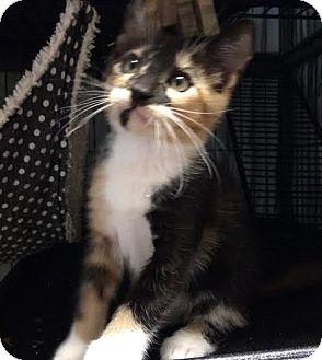 Calico Kitten for adoption in Orlando, Florida - Tilly