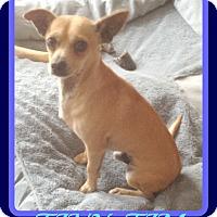 Adopt A Pet :: TINY-TIM - Mount Royal, QC