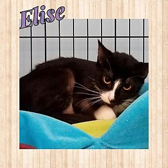 Domestic Shorthair Cat for adoption in Westbury, New York - Elise