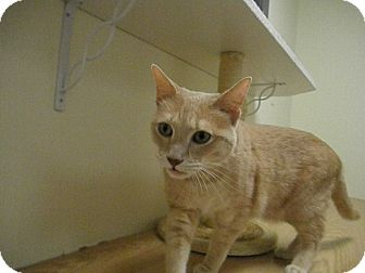 Domestic Shorthair Cat for adoption in Milwaukee, Wisconsin - Apricat