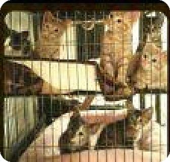 Domestic Shorthair Kitten for adoption in Trenton, New Jersey - Zira (SL)