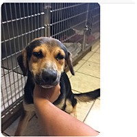 German Shepherd Dog/Hound (Unknown Type) Mix Dog for adoption in Fairfield, New Jersey - chester