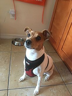 Jack Russell Terrier Dog for adoption in Miami, Florida - BELLA