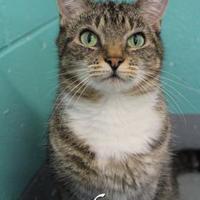 Domestic Shorthair/Domestic Shorthair Mix Cat for adoption in Bradenton, Florida - Olive