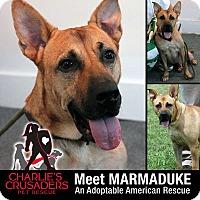 Adopt A Pet :: Marmaduke - Pottstown, PA