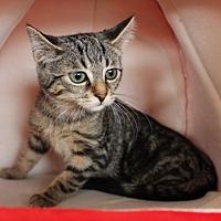 Adopt A Pet :: Chiplet (+ Tux) - Richmond Hill, ON