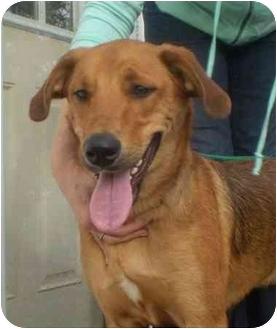 Retriever (Unknown Type)/Labrador Retriever Mix Dog for adoption in Long Beach, New York - Buster