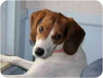 Beagle Dog for adoption in Northville, Michigan - Jade