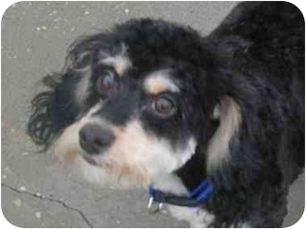 Poodle (Miniature)/Lhasa Apso Mix Dog for adoption in HARRISONVILLE, Missouri - Molly McGoogle