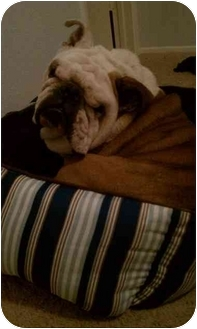 English Bulldog Dog for adoption in Gilbert, Arizona - Mo