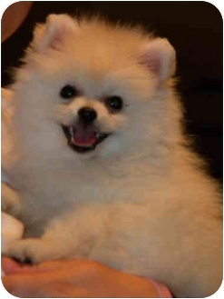Pomeranian/Spitz (Unknown Type, Small) Mix Puppy for adoption in Callahan, Florida - Pepper