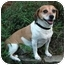 Photo 1 - Beagle/Dachshund Mix Dog for adoption in Houston, Texas - Addie