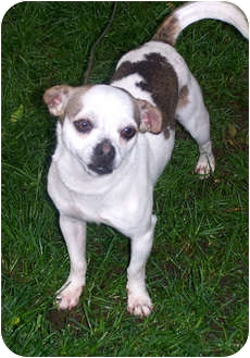 Chihuahua Mix Dog for adoption in Owatonna, Minnesota - Paco