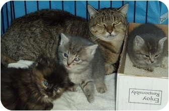 Domestic Shorthair Kitten for adoption in Westfield, Massachusetts - Missy#2 and 4 kittens