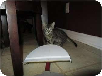 Domestic Shorthair Kitten for adoption in Mobile, Alabama - Juliet