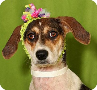 Beagle Mix Dog for adoption in New Canaan, Connecticut - Pie - Courtesy Listing