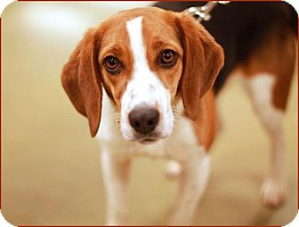 Beagle Mix Dog for adoption in Marietta, Georgia - Bebe