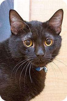 Domestic Shorthair Cat for adoption in Irvine, California - Jordan