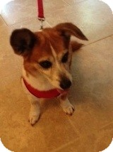 Corgi Mix Dog for adoption in Kingwood, Texas - Sadie