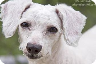 Miniature Poodle Mix Dog for adoption in Brooklyn, New York - Babe