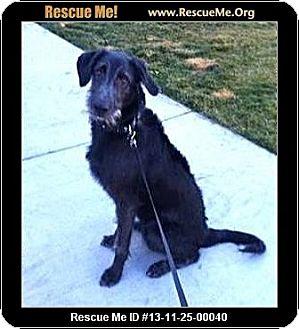 Labradoodle Puppy for adoption in Boulder, Colorado - Moose