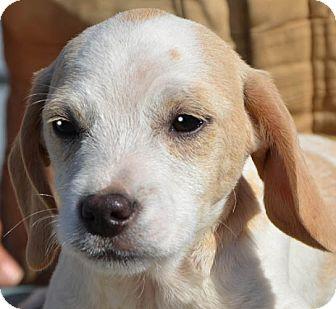 Terrier (Unknown Type, Medium) Mix Puppy for adoption in Spring Valley, New York - Samson
