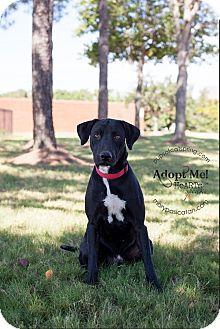 Labrador Retriever Mix Dog for adoption in Cat Spring, Texas - Marco
