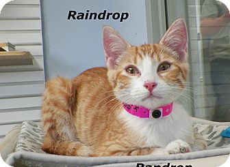 Domestic Shorthair Kitten for adoption in Dover, Ohio - Raindrop