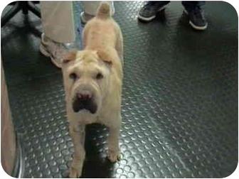 Shar Pei Dog for adoption in Houston, Texas - Jewel
