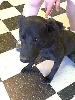 Labrador Retriever Dog for adoption in Phoenix, Arizona - DeeDee
