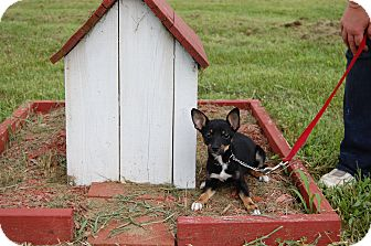 Feist/Rat Terrier Mix Puppy for adoption in North Judson, Indiana - Leonard