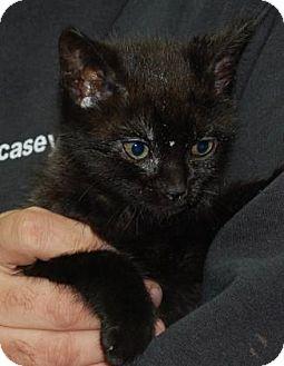 Domestic Shorthair Kitten for adoption in Brooklyn, New York - Amaya