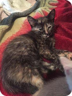 Domestic Mediumhair Kitten for adoption in McDonough, Georgia - Black Canary