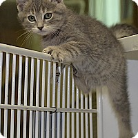 Adopt A Pet :: Silverstein - Medina, OH
