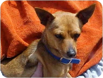 Chihuahua Mix Dog for adoption in Spring Valley, California - Rusty
