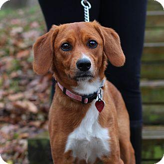 Beagle Mix Dog for adoption in Edwardsville, Illinois - Gracie