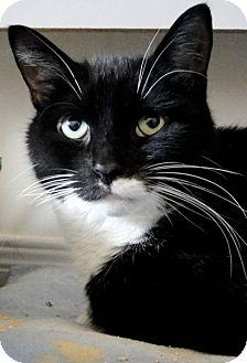 Domestic Shorthair Cat for adoption in Kingston, Ontario - Teddy