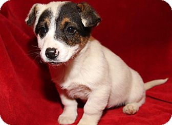 Beagle/Australian Cattle Dog Mix Puppy for adoption in Orland Park, Illinois - Peppermint Patty