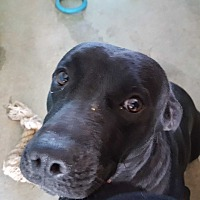 Labrador Retriever/Bulldog Mix Dog for adoption in Marianna, Florida - Cinder